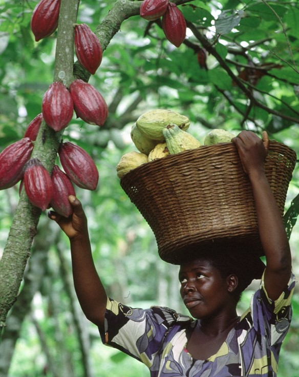 Woman picking cocoa pods